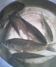 高山淡水鱼